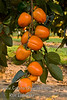Chocolate Persimmon - Diospyros kaki<br /> Very tasty, sweet, brown flesh.  Non-astringent when fully ripe.  Medium to small, elongated fruit.  Orange skin.  Ripens Late October into Early November.