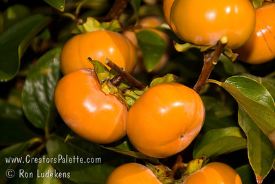 """Fuyu (Imoto) Persimmon - Diospyros kaki Popular fresh eating Japanese persimmon.  Large, round, flattened.  More """"square"""" and flatter than Fuyu (Jiro).  Reddish-brown skin.  Smooth texture.  Good eating firm ripe.  Non-astringent.  Ripens in November."""