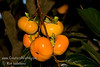 """Fuyu (Imoto) Persimmon - Diospyros kaki<br /> Popular fresh eating Japanese persimmon.  Large, round, flattened.  More """"square"""" and flatter than Fuyu (Jiro).  Reddish-brown skin.  Smooth texture.  Good eating firm ripe.  Non-astringent.  Ripens in November."""