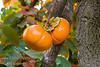 Fuyu (Jiro) Persimmon - Diospyros kaki<br /> Most popular fresh eating Japanese persimmon.  Large, round but flattened.  Reddish-orange skin.  Good eating firm.  Non-astringent.  Bears as a young tree and is a heavy producer.  Does not have male flowers so it will not have seeds unless planted with other varieties.  Ripens: November.