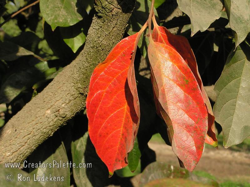 Fuyu (Jiro) Persimmon - Diospyros kaki<br /> Close up of fall color in Fuyu (Jiro) Persimmon leaves.