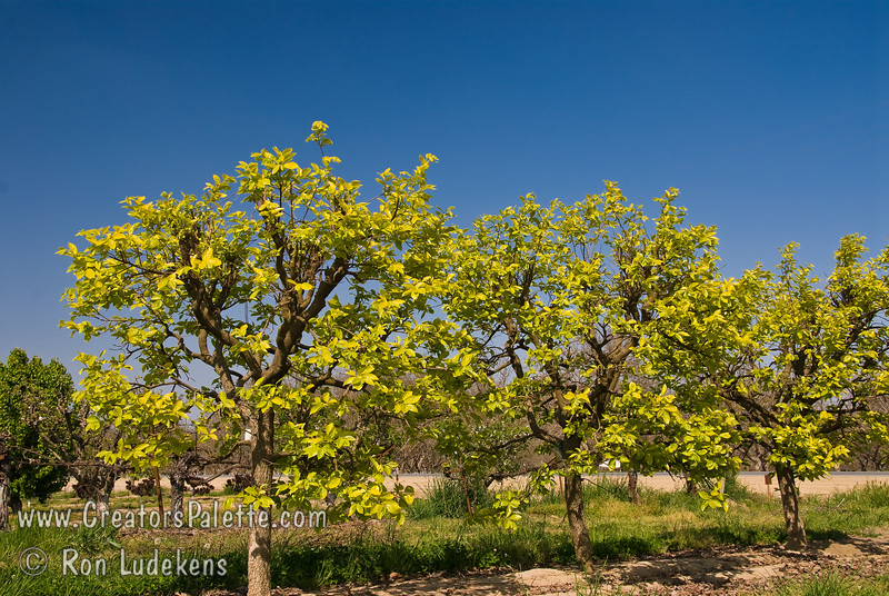 Fuyu (Jiro) Persimmon - Diospyros kaki<br /> New, bright yellow-green foliage of Fuyu (Jiro) Persimmon creates a spring color sensation.