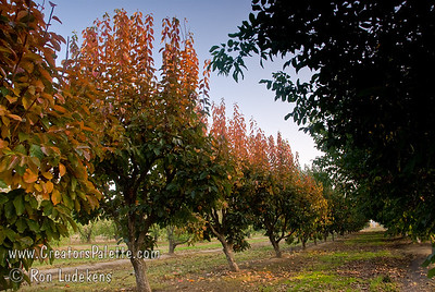 Fuyu (Jiro) Persimmon - Diospyros kaki Trees have attractive fall color along with their colorful fruit.