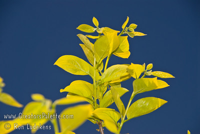 Yellow Persimmon Leaves