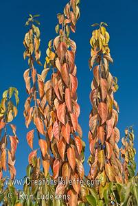Giant Fuyu Persimmon (Gosho) - Diospyros kaki  Fall color.