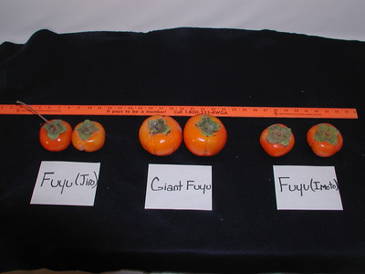 Fuyu (various) Persimmon comparison photo (Diospyros kaki) Fuyu (Jiro), Giant Futu, Fuyu (Imoto)