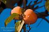 Giant Fuyu Persimmon (Gosho) - Diospyros kaki<br /> Very large fruit.  Round to semi-oblong, dark orange skin.  Smooth texture.  Non-astringent.  Ripens in November.