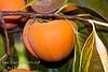 Giant Fuyu Persimmon (Gosho) - Diospyros kaki <br /> Very large fruit.  Round to semi-oblong, dark orange skin.  Smooth texture.  Non-astringent.  Ripens in November.
