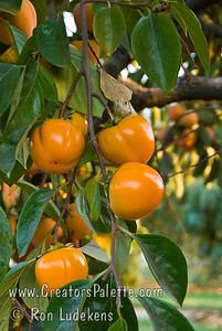 Giant Fuyu Persimmon (Gosho) - Diospyros kaki Very large fruit.  Round to semi-oblong, dark orange skin.  Smooth texture.  Non-astringent.  Ripens in November.