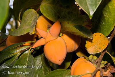 Giant Fuyu Persimmon (Gosho) - Diospyros kaki Sometimes this large fruit gets mis-shapen into some interesting forms.