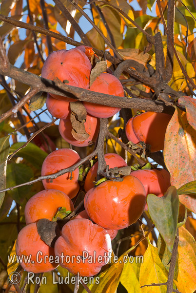 Giant Fuyu Persimmon (Gosho) - Diospyros kaki - Heavy laden branch.<br /> Very large fruit.  Round to semi-oblong, dark orange skin.  Smooth texture.  Non-astringent.  Ripens in November.
