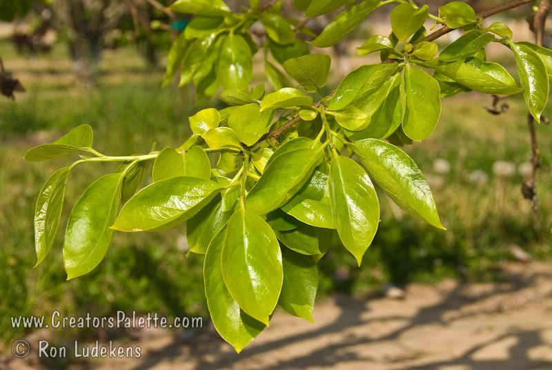 New bright shiny foliage of the Giant Persimmon tree.