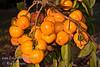 Giant Fuyu Persimmon (Gosho) - Diospyros kaki - Heavy laden branch.<br /> Very large fruit.  Round to semi-oblong, dark orange skin.  Smooth texture.  Non-astringent.  Ripens in November.
