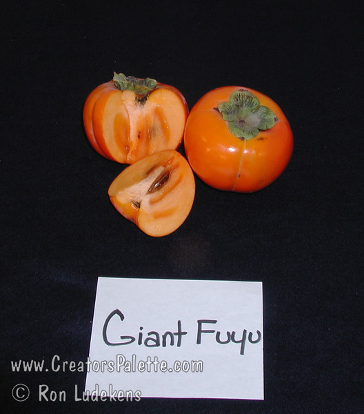 Giant Fuyu Persimmon (Gosho) - Diospyros kaki<br /> Very large fruit.  Round to semi-oblong, dark orange skin.  Smooth texture.  Non-astringent.  Ripens in November.