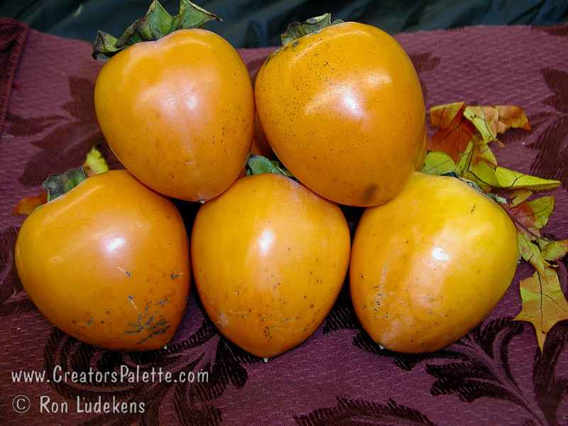 Hachiya Persimmon - Diospyros kaki<br /> Very large, oblong with a rather short point.  Skin bright orange-red covered with dark blotches.  Largest and best cooking quality.  Tree vigorous, upright and shapely.  Astringent.  Ripens: November.