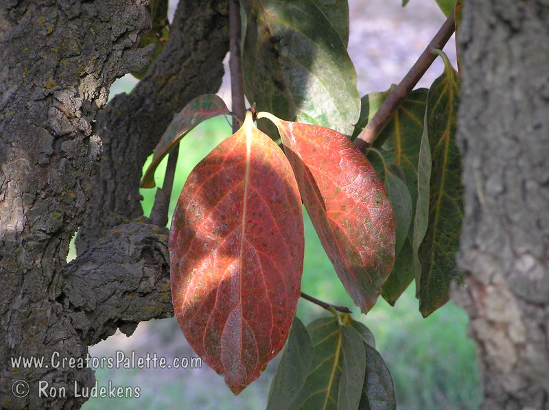 Hachiya Persimmon - Diospyros kaki<br /> Fall color of leaves with reds and yellows.