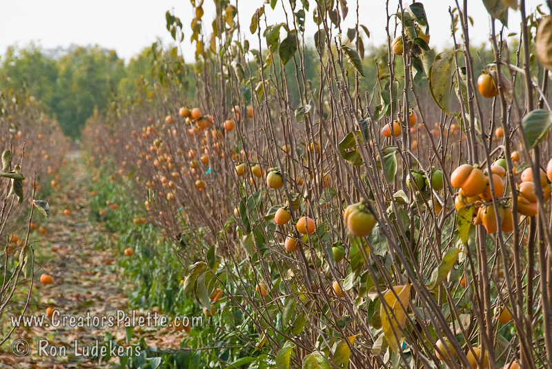 Photo showing field crop of 2 year old Hachiya Persimmons (1 year top) with fruit already.  Trees are beginning to go dormant for digging.
