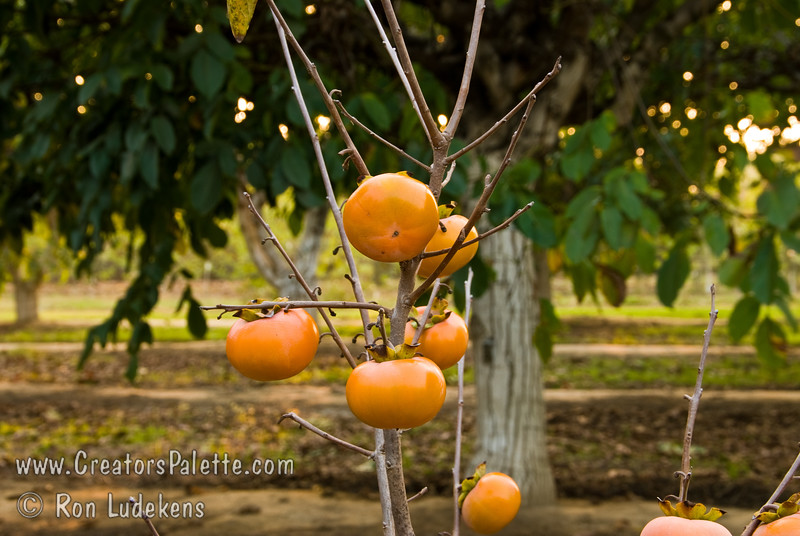 Izu Persimmon (Diospyros kaki)<br /> Key feature is earlier ripening fruit - three weeks before Fuyu.  Non-astringent, medium sized, Fuyu-like fruit, excellent taste.  Sets well on dwarf sized tree.  Foliage is dark green in  summer turning to red-orange highlights in the fall. Ripens: Very early, in September or even Late August in some climates. Dwarf tree with an approximate mature height of 12-15 feet and a spread of 8-12 feet.  Cold hardy to U.S.D.A.  Zone 7.