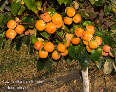 Maru Persimmon (Diospyros kaki sp.) Atractive brilliant orange-red skin on medium sized, round fruit.  Flesh is dark cinnamon color and seeded if cross pollinated.  Juicy, sweet and excellent quality.  Non-astringent if cross pollinated and seeded.  Very decorative. (PVNA - Pollination Variant Non-Astringent).  Ripens late October into November.  Cold hardy to USDA Zone 7.