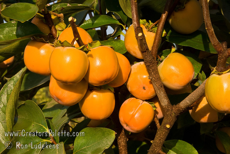 Maru Persimmon (Diospyros kaki sp.)<br /> Atractive brilliant orange-red skin on medium sized, round fruit.  Flesh is dark cinnamon color and seeded if cross pollinated.  Juicy, sweet and excellent quality.  Non-astringent if cross pollinated and seeded.  Very decorative. (PVNA - Pollination Variant Non-Astringent).  Ripens late October into November.  Cold hardy to USDA Zone 7.