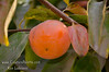 Matsumoto Wase Fuyu Persimmon (Diospyros kaki sp.)<br /> A bud sport from the popular Fuyu which ripens about 2 weeks earlier. Tasty, non-astringent. Can be eaten hard or soft. Orange color. Heavy crops may need thinning.  Self Fertile.  Ripens: Late October, 2 weeks before Fuyu Persimmon.  Requires <200 hours chilling below 45º F.  Cold hardy to U.S.D.A.  Zone 7.