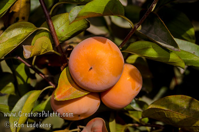 Matsumoto Wase Fuyu Persimmon (Diospyros kaki sp.) A bud sport from the popular Fuyu which ripens about 2 weeks earlier. Tasty, non-astringent. Can be eaten hard or soft. Orange color. Heavy crops may need thinning.  Self Fertile.  Ripens: Late October, 2 weeks before Fuyu Persimmon.  Requires <200 hours chilling below 45º F.  Cold hardy to U.S.D.A.  Zone 7.