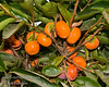 Nishimura Wase Persimmon (Diospyros kaki)<br /> A richly flavored variety with juicy, spicy-sweet chocolate colored flesh.  The fruit is medium large and nearly round.  The tree is vigorous and easy to grow. It ripens in September three weeks to a month before Fuyu.  It ripens in climates with summers too cool to consistently ripen Fuyu. It is a non astringent pollination variant which means it develops its rich sweet flavor best when it is pollinized.  Without pollination it is seedless but astringent and then must be eaten dead ripe. Chocolate is the best pollinizer. Requires less than 200 hours chilling below 45º F. Mature height is 25  feet with a spread of 15-20  feet. Cold hardy to U.S.D.A. Zone 7.    Sunset Zones: 5-9, 11, 14-23, 26-33
