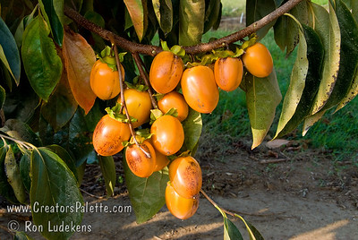 Saijo Persimmon - Diospyros kaki Gourmets claim it to be the sweetest and best tasting of the persimmons.  Medium sized, elongated yellow-orange fruit.  Astringent. Cold hardy to USDA Zone 6.  Medium tree height.  Ripens in November.