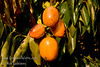 Saijo Persimmon - Diospyros kaki<br /> Gourmets claim it to be the sweetest and best tasting of the persimmons.  Medium sized, elongated yellow-orange fruit.  Astringent. Cold hardy to USDA Zone 6.  Medium tree height.  Ripens in November.