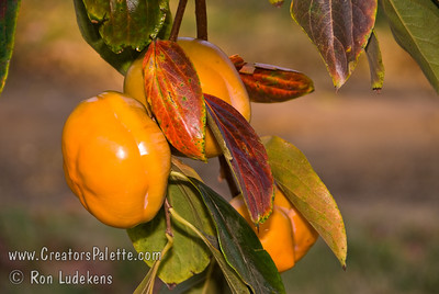 Astringent - eat fresh only when very soft.  Excellent for cooking and baking when firm to soft.  Showy red-orange fall color.  Self Fertile.  Ripens: November. Mature height is 20-30 feet with a spread of 18-25 feet.  Requires less then 200 hours chilling below 45º F. Cold hardy to U.S.D.A.  Zone 7.