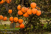 Tanenashi Persimmon (Diospyros kaki sp.)<br /> A very productive tree that bears at young age.  A beautiful, impressive sight when fully loaded.  Fruit is medium - large sized, cone shaped with brilliant orange-red skin.  Flesh is Astringent until soft.  Seedless.  Excellent for cooking and drying.  Ripens: October.  Mature height is 25-35 feet with a spread of 18-25 feet. Requires less then 200 hours chilling below 45º F.  Cold hardy to U.S.D.A.  Zone 7.  Sunset Zones: 6-9, 14-16, 18-24, 26-33.