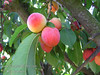 Plumcot (Prunus sp.)<br /> Apricot size, round.  Yellow, blushed melon-red, speckled skin.  Golden yellow, juicy, plum-like flesh with aromatic touch of apricot flavor.  A Luther Burbank introduction.  A cross between a plum and apricot.  Tree form and fruit appearance flavors plum parent.  Highly productive.  Thin for larger sizes.  Requires 300 hours chilling below 45º F.  Ripens: Early June.  Cold hardy to U.S.D.A.  Zone 7.