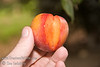 Autumn Rosa Plum (Prunus salicifolia sp.)<br /> Medium to large. Heart-shaped fruit. Purplish-red skin with amber cast. Flesh is yellow streaked with red.  Solid.  Excellent flavor.  Fruit ripens over a long period of time, Early to Late September.  Holds well on tree. Good pollinizer for early bloomers such as Mariposa.  500 hours chilling required