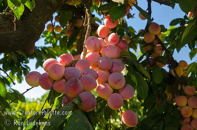 Burbank Plum (Prunus salicina sp.) Imported from Japan by the famed horticulturist Luther Burbank. Red and golden yellow skin. Yellow-orange (apricot colored) flesh is firm, sweet, aromatic, juicy and uniquely flavored. Relatively small tree only 12-15 feet tall. Cold hardy. 400-500 hours chilling. Requires pollinizer. Pollenized by Santa Rosa.