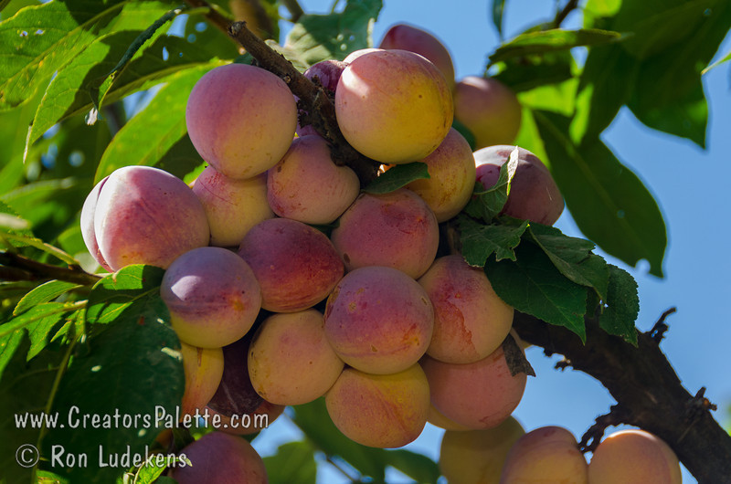 Burbank Plum (Prunus salicina sp.)<br /> Imported from Japan by the famed horticulturist Luther Burbank. Red and golden yellow skin. Yellow-orange (apricot colored) flesh is firm, sweet, aromatic, juicy and uniquely flavored. Relatively small tree only 12-15 feet tall. Cold hardy. 400-500 hours chilling. Requires pollinizer. Pollenized by Santa Rosa.