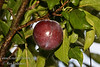 Cassleman Plum / Late (Improved) Santa Rosa Plum (Prunus salicina sp>)<br /> Large. Purplish- Crimson fruit with blue bloom. Firm flesh, deep amber to dark red near skin.  Rich, pleasing, tart flavor. Heavy producer. Ripens: Early August. Self-fertile. A good pollinizer for other <br /> plums.  Requires 500 hours of chilling below 45º F. Cold hardy to U.S.D.A.  Zone 5.