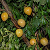 Golden Nectar Plum (Prunus salicina sp.)<br /> A unique and unforgettable eating delight. Extra large. Skin is golden amber and thin with a tender texture. Flesh is amber, firm, and has an excellent flavor. Ripens evenly. Pit is small. Great eating quality both fresh and dried. Good keeping quality, holds well in storage and at room temperature. Hybrid seedling from Mariposa Plum. Blue Ribbon winner for two consecutive years at the Tulare<br /> County Fair. Needs pollinizer: Santa Rosa or Burgundy. (4-500 hours) Ripens: Late July. Cold hardy to USDA Zone 7 (probably 6).