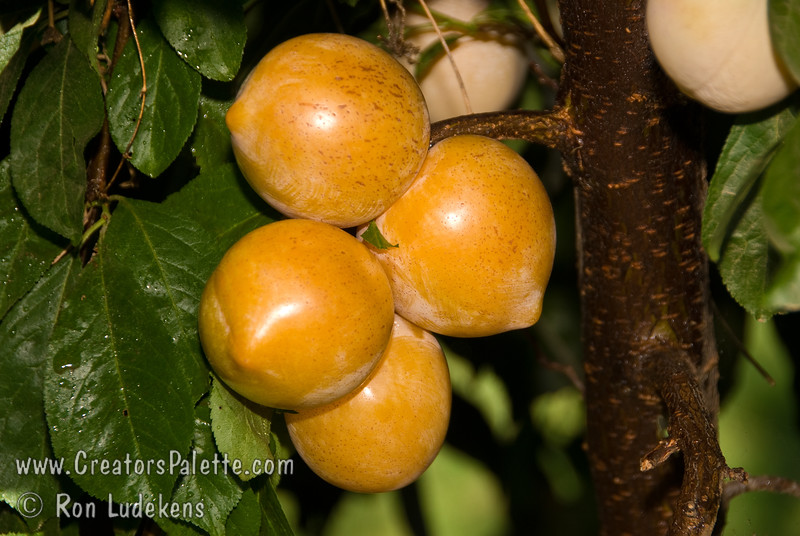 Inca Plum - Prunus salicina<br /> Medium, heart-shaped tapering toward the tip.  Skin is a beautiful golden color and, when ripe, it has brilliant magenta specks and a magenta blush around the stem end. Its flesh is rich, dense and crisp. The Inca has a unique flavor with the perfect balance of tart and sweetness.  Introduced by Luther Burbank in 1919.  Ripens: Early to Mid August.  Requires about 300 hours chilling.