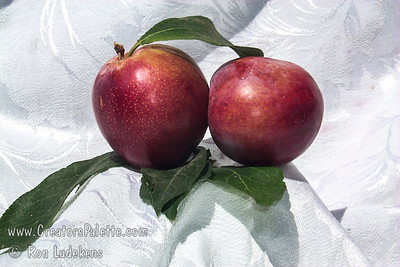Ozark Premier Plum (Prunus salicina sp.) Very large. Skin bright red. Flesh yellow, firm fine grained, juicy, tart. Flavor good. Semi-cling. Cold hardy. Ripens: Early August. Cross of Burbank and Methley.  800 Chill hours required.