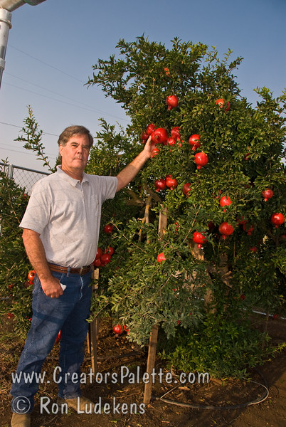 Greg Smith showing his patented Angel Red® Pomegranate (Punica granatum)  on 9-7-2007.<br /> Bright red, large fruit produced nearly a month ahead of Wonderful Pomegranate.  Early to market.  Excellent flavor.  Yields high volumes of antioxident juice and lower than normal waste pulp.  Very soft seed.  Ripens late August to early September in Central Valley of California.  Drought tolerant.