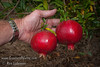 Angel Red® Pomegranate (Punica granatum) on 9-5-2006<br /> Bright red, large fruit produced nearly a month ahead of Wonderful Pomegranate.  Early to market.  Excellent flavor.  Yields high volumes of antioxident juice and lower than normal waste pulp.  Very soft seed.  Ripens late August to early September in Central Valley of California.  Drought tolerant.