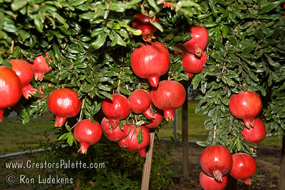 Angel Red® Pomegranate (Punica granatum) on 9-7-2007 Bright red, large fruit produced nearly a month ahead of Wonderful Pomegranate.  Early to market.  Excellent flavor.  Yields high volumes of antioxident juice and lower than normal waste pulp.  Very soft seed.  Ripens late August to early September in Central Valley of California.  Drought tolerant.