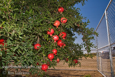 Angel Red® Pomegranate (Punica granatum) on 9-5-2006 Bright red, large fruit produced nearly a month ahead of Wonderful Pomegranate.  Early to market.  Excellent flavor.  Yields high volumes of antioxident juice and lower than normal waste pulp.  Very soft seed.  Ripens late August to early September in Central Valley of California.  Drought tolerant.