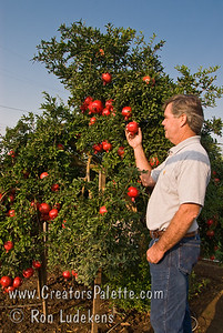 Greg Smith showing his patented Angel Red® Pomegranate (Punica granatum)  on 9-7-2007. Bright red, large fruit produced nearly a month ahead of Wonderful Pomegranate.  Early to market.  Excellent flavor.  Yields high volumes of antioxident juice and lower than normal waste pulp.  Very soft seed.  Ripens late August to early September in Central Valley of California.  Drought tolerant.