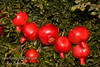 Angel Red® Pomegranate (Punica granatum) on 9-7-2007<br /> Bright red, large fruit produced nearly a month ahead of Wonderful Pomegranate.  Early to market.  Excellent flavor.  Yields high volumes of antioxident juice and lower than normal waste pulp.  Very soft seed.  Ripens late August to early September in Central Valley of California.  Drought tolerant.