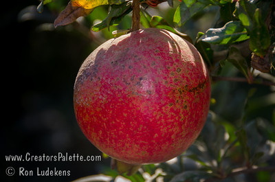 Austin Pomegranate - Punica granatum This is a great juice variety with high yield - about 1.5 times Wonderful.  Sweet juice with a bare hint of tartness.  A great complex taste, superior to most sweet varieties.  Seed is medium in hardness, chewy.  Resists cracking.  Vigorous grower.  Ripens in late October.  Developed in Central Texas - a cross of two middle-eastern varietes.