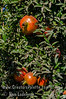 Austin Pomegranate - Punica granatum<br /> This is a great juice variety with high yield - about 1.5 times Wonderful.  Sweet juice with a bare hint of tartness.  A great complex taste, superior to most sweet varieties.  Seed is medium in hardness, chewy.  Resists cracking.  Vigorous grower.  Ripens in late October.  Developed in Central Texas - a cross of two middle-eastern varietes.