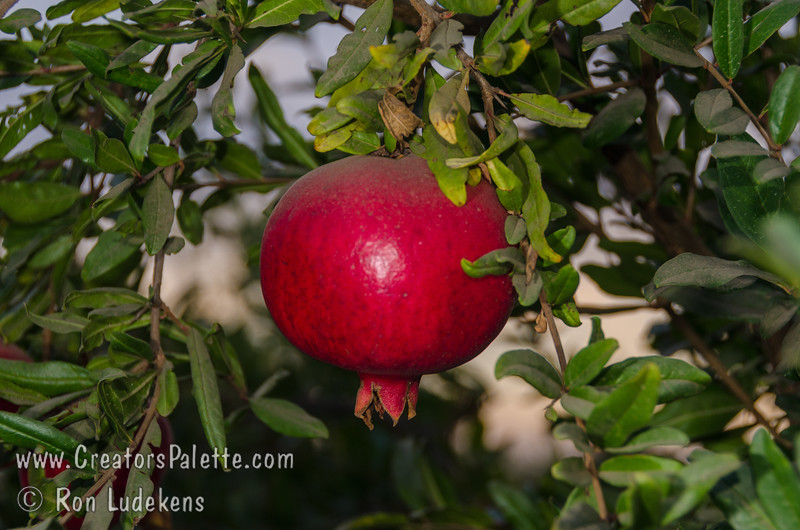 Early Foothill Pomegranate (Punica granatum sp.) Large, purple-red fruit similar to Wonderful but harvesting 1-2 weeks earlier.  Arils are light to dark red with low acid and higher sugar.  Sweeter than Wonderful and tends to be larger than Granada. Ripens late August. Best quality in hot inland climates.  Cold hardy to U.S.D.A Zone 9.