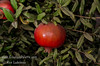 Early Foothill Pomegranate (Punica granatum sp.)<br /> Large, purple-red fruit similar to Wonderful but harvesting 1-2 weeks earlier.  Arils are light to dark red with low acid and higher sugar.  Sweeter than Wonderful and tends to be larger than Granada. Ripens late August. Best quality in hot inland climates.  Cold hardy to U.S.D.A Zone 9.