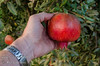 Early Wonderful Pomegranate (Punica granatum)<br /> Large, deep red, thin skinned, delicious fruit.  Large, orange-red flowers which bloom late.  Very productive.  Self fertile.  Fruit ripens mid September, about two weeks before Wonderful.  Less than 200 hours chilling required.
